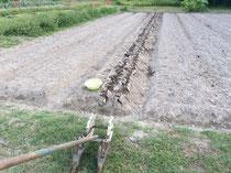 下段の畑で今日もニンニクを定植。