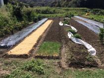 籾殻を播いた畝の横でのたうつコモ