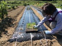 植えているのはロメインレタスの苗
