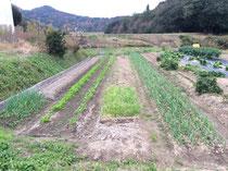 空き畝には寒中に向け種を播きます