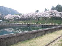 半原水源地沈殿池と桜