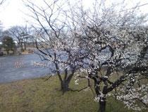 走水水源地の梅