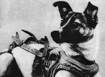 Laïka et sa combinaison spatiale par coach canin 16 educateur canin à cognac