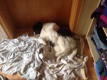 Laika müde vom Kleiderschrank leeren.