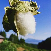 くろんた和綿プロジェクト