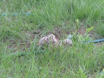 庭を占拠しているカモメの雛