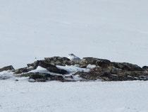 岩の間でくつろぐライチョウ