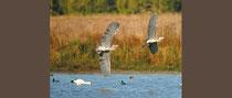 des oiseaux en vol