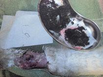 Unmittelbar nach der OP, Schwanenhals aus dem Angelhaken u. Speisereste entfernt wurden.