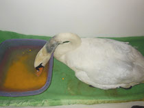 Nach der OP darf der Schwan einige Tage nur weiche Nahrung zu sich nehmen.
