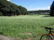 七国山の蕎麦畑