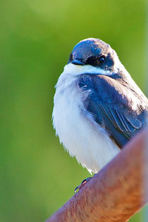 A male Tree Swallow at Distant Hill Gardens.