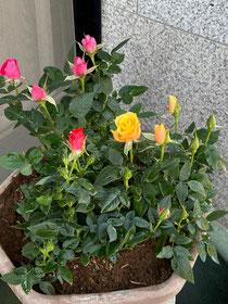 薔薇は鉢植えに♪