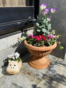シクラメンとトルコキキョウとハツユキカヅラを寄せ植えしました〜。
