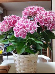 送った紫陽花♪ 可愛い♡