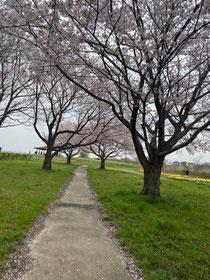 遊水地も桜が満開‼︎右下に見えるのは水仙だよ(^^)