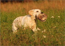 Labrador Retriever Welpe: A'Simply Perfect Caniwergi's