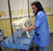 Futur chien d'assistance au toilettage