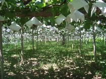 色付く前のブドウ園