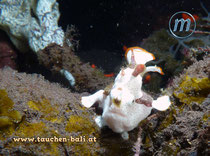 Anglerfisch, Warty Frogfish, Antennarius maculatus (juvenile)
