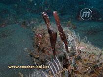 Robuster Geisterpfeifenfisch, engl.: Robust Ghost Pipefish, Solenostomus cyanopterus
