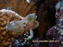 Schaukelfisch, Leaf scorpionfish, Taenianotus triacanthus