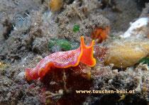 Strudelwurm  Plattwurm - Polyclad Flatworm, Pseudoceros ferrugineus