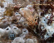 Gehörnte Hummelgarnele, engl. Tigershrimp, Phyllognathia ceratophthalmus