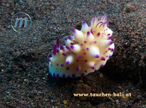 Nacktschnecke / Nacktkiemer   Sea slug, dorid nudibranch, shell-less  Mexichromis multituberculata