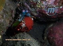 Fangschreckenkrebs, Mantis shrimp, Odontodactylus scyllarus