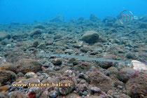 Glatter Flötenfisch, Cornetfish, Fistularia commersonii