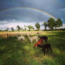 Mehr Glanz geht nicht-Alpakas unterm Regenbogen