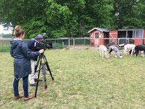 20.5.2020 : Heute war der NDR bei uns und wollte unser Alpakafohlen Ronja kennenlernen. Das Video dazu folgt in Kürze!