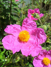 Prelijepi cvijet bušina - Cistus incanus