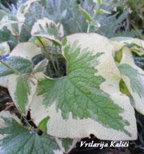 "Brunnera macrophylla ""Variegata"""