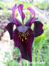 "Iris chrysographes ""Dark form"""