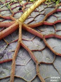 Naličje listova s prepoznatljivom arhitekturom žila.