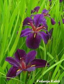 "Iris lousiana ""Black gamecock"""