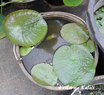 Veličinu biljke određuje posuda u kojoj je posađena