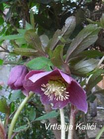"Helleborus orientalis ""Red"""