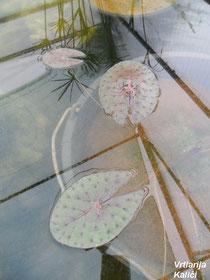 Mlada biljka Euryale-a koja još nije stvorila prave okrugle listove.