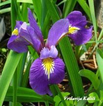 "Iris virginica ""Sumpfprinzessin"""