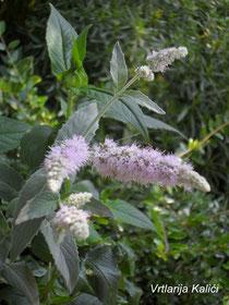 "Mentha longifolia ""Buddleja"""