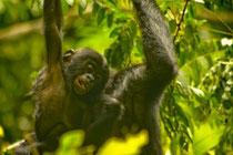 Bonobo David Beaune