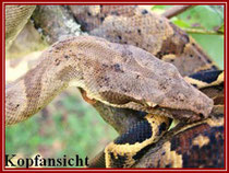 Boa c. nebulosa (danke an Andreas Kastl http://www.boa-constrictor.at/)