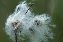 Linaigrette sous le vent (Photo Alain Tessier)