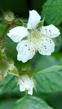 Flor de frambuesa