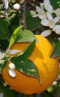 Naranja agria y flores (azahar)