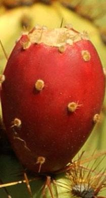Fruto de nopal