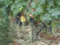 vigne en période de veraison